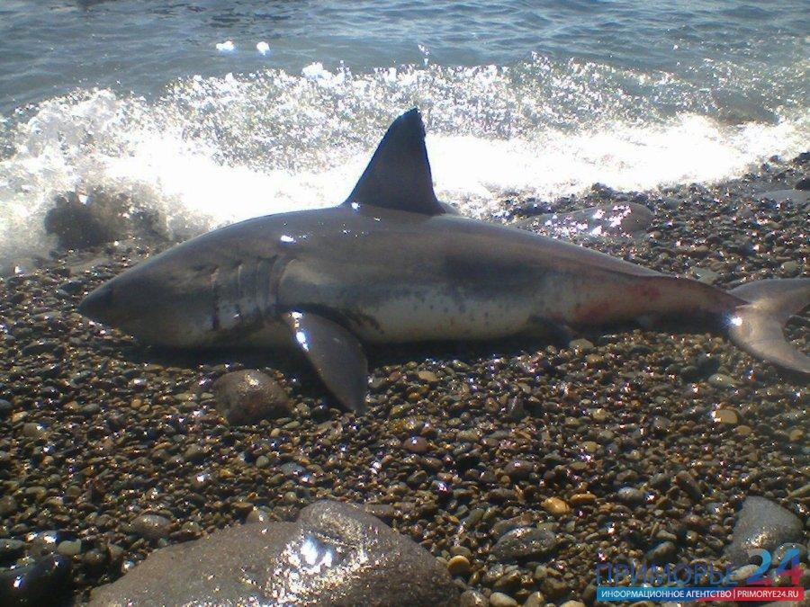 Акула Владивосток