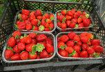 Сочная приморская клубника составит конкуренцию китайской ягоде