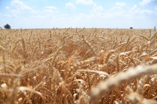 На Дне поля в Уссурийске покажут мировую сельхозтехнику и откроют ярмарку